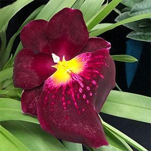 Miltoniopsis Crimson Cascade