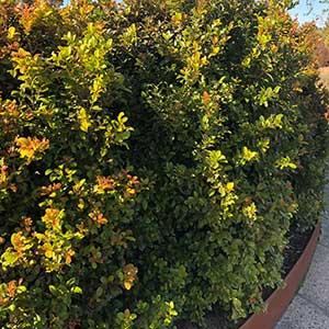 Syzygium australe 'aats' - Hedge