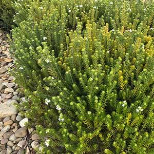 Westringia dampieri - Hedge