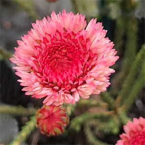 Actinodium cunninghanii - The Albany Daisy