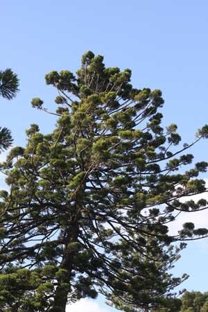 Araucaria cunninghamianii - Hoop Pine
