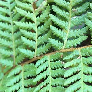 Cyathea cooperi - Australian tree fern