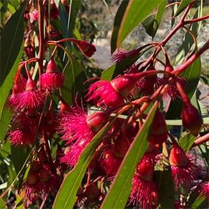 Eucalyptus petiolaris