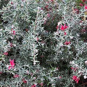 Grevillea lavandulacea - Foliage