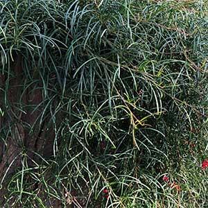 Grevillea nudiflora - Foliage