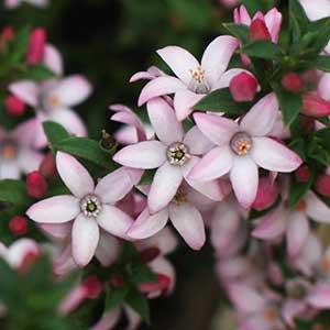 Philotheca buxifolia (syn. Eriostemon buxifolius)