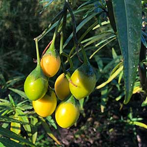 Solanum laciniatum - Kangaroo-apple