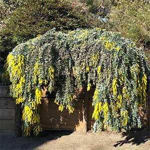 Acacia baileyana - Cootamundra Wattle