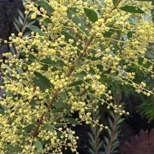 "Acacia boormanii ""Snowy River Wattle"