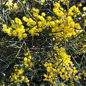 Acacia williamsonii - Whirrakee Wattle