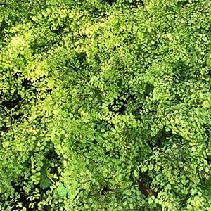 Adiantum aethiopicum - Common Maidenhair Fern