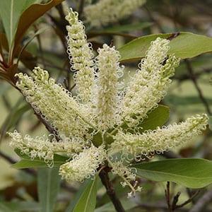 Grevillea baileyana - Flower and Foliage
