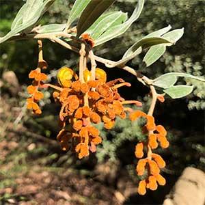 Grevillea chrysophaea - Golden Grevillea