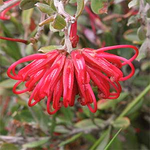 Grevillea speciosa - Red Spider Flower