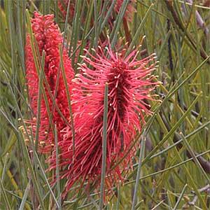 Hakea bucculenta - Red Poker Hakea