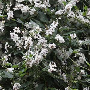Hardenbergia comptoniana - White Variety