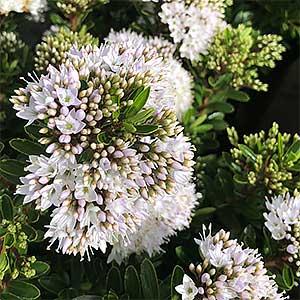 Hebe Buxifolia - 'Box Leaf Hebe'