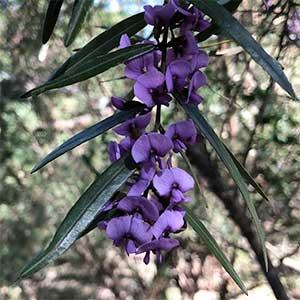 Hovea longifolia  - Long-Leaf Hovea