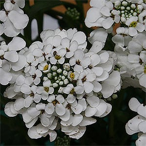 Iberis sempervirens - Candytuft