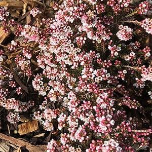 Micromyrtus ciliata - Wartook Form