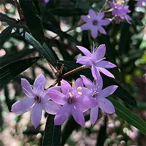 Phebalium woombye