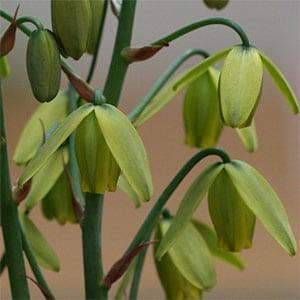 Albuca spiralis - Flower