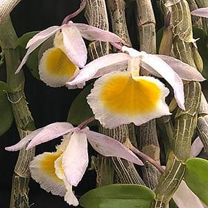 Dendrobium primulinum - The Primrose Yellow Dendrobium