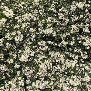 Leionema lamprophyllum