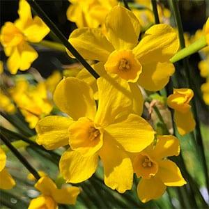 Narcissus henriquesii