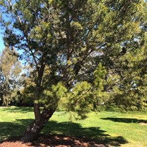 Pinus halepensis - Aleppo Pine