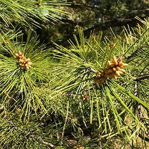Pinus halepensis - Foliage