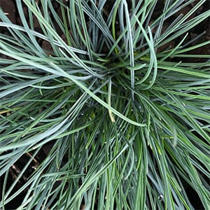 Poa sieberiana - Snow Grass