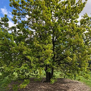 Quercus canariensis - Algerian Oak
