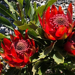 Telopea speciosissima - New South Wales Waratah