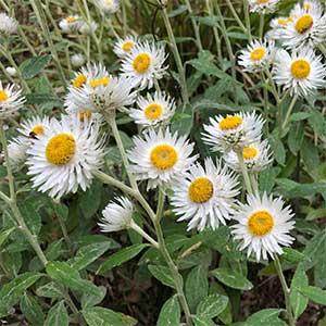 Coronidium elatum Syn.Helichrysum elatum