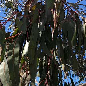 Eucalyptus bridgesiana - Foliage