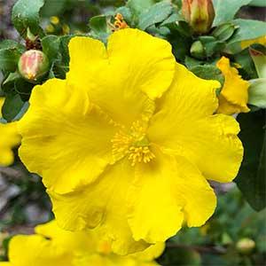Hibbertia serrata - Flower Detail