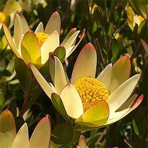 Leucadendron Harvest - Flower