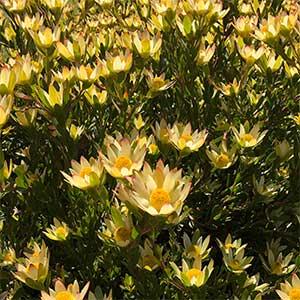 Leucadendron Harvest