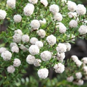 Spyridium scortechinii - Flowers