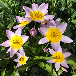 Tulipa saxatiliis - Established Clump