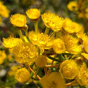 Verticordia chrysantha - Yellow Feather Flower