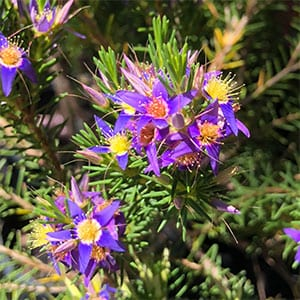Calytrix species