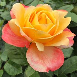 Dame Elisabeth Murdoch - Hybrid Tea Rose