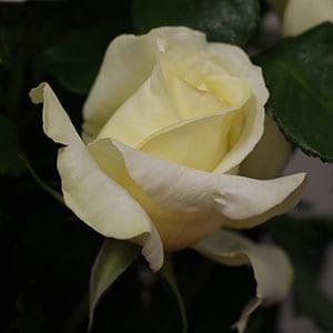 Elina - Hybrid Tea Rose
