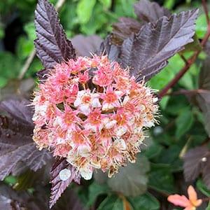 Physocarpus opulifolius 'Diabolo' - Flowers