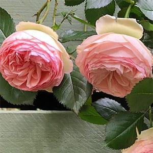 Pierre de Ronsard Rose - Flowers and Foliage