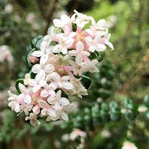 Pimelea nivea - Round Leaf Rice Flower