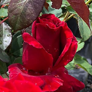 Tatjana - Hybrid Tea Rose