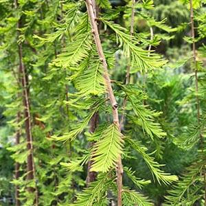 Taxodium distichum - Cascade Falls